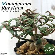 (観葉植物)モナデニウム モンタナム var. ルベルム コーデックス 3.5号(1鉢)