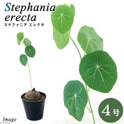 (観葉植物)ステファニア エレクタ コーデックス 4号(1鉢)
