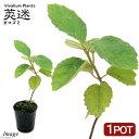 (観葉植物)ビバリウムプランツ ガマズミ(莢迷) 3cmポット(1ポット)