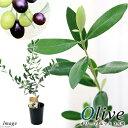 (観葉植物)果樹苗 オリーブの木 ルッカ 3.5号(1鉢) 家庭菜園
