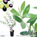 (観葉植物)果樹苗 オリーブの木 ネバディロブランコ 3.5号(1鉢) 家庭菜園