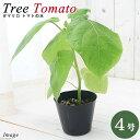 (観葉植物)果樹苗 タマリロ トマトの木 4号(1鉢)  家庭菜園