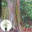 (観葉植物)ユーカリ レインボーユーカリ 6号(1ポット)【HLS_DU】