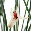(観葉植物)洋ラン デンドロビウム シャーマニー 2.5~3号(1ポット)