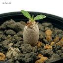 (観葉植物)パキポディウム デンシカウレ 恵比寿大黒 実生苗 2.5号(1鉢)休眠株 コーデックス