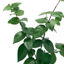 (観葉植物)果樹苗 ブラックピタンガ 3号(1ポット) 家庭菜園 北海道冬季発送不可