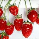 (観葉植物)野菜苗 イチゴ カレンベリー 3号(3ポット) 家庭菜園 いちご苗