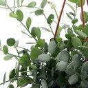(観葉植物)グリーンドラム 6号 吊鉢(1鉢)