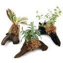 (観葉植物)テラリウム向け ミニ観葉付流木 Sサイズ(約15cm)(1本)