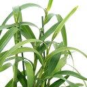 (観葉植物)洋ラン アンブロストマ トリダクティラム 2.5~3号(1ポット)