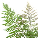 (観葉植物)グレビレア 4号(1鉢) 北海道冬季発送不可