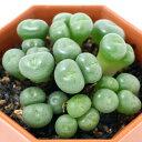 (観葉植物)コノフィツム ウィルヘルミー 2号(1鉢) 北海道冬季発送不可