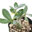 (観葉植物)アデニウム アラビカム 2.5~3号(1鉢) コーデックス