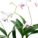 RoomClip商品情報 - (観葉植物)洋ラン デンドロビウム キンギアナム シルコッキー 2.5〜3号(1ポット) 北海道冬季発送不可