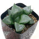 (観葉植物)一点物 品種系ハオルチア B型コンプト ミュータント 2.5号(1鉢)