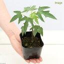 (観葉植物)果樹苗 パパイヤ ベニテング 3.5号(1ポット)