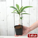 (観葉植物)果樹苗 カニステル 3号(1ポット) 家庭菜園