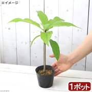 (観葉植物)サガリバナの苗 4号(1ポット)