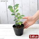 (観葉植物)ストロベリーグァバの苗 4号(1ポット)