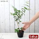 (観葉植物)ピタンガの苗 4号(1ポット)