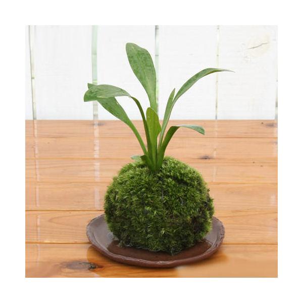 (盆栽)苔玉オモダカ(1個)観葉植物コケ玉