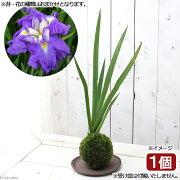 (盆栽)苔玉 花菖蒲(品種おまかせ)(1個) 観葉植物 コケ玉