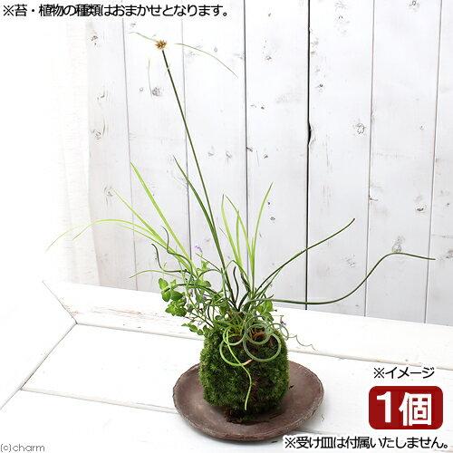 (盆栽)苔玉水辺植物3種寄せ植え(品種おまかせ)(1個)観葉植物コケ玉(休眠株)