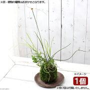 (盆栽)苔玉 水辺植物寄せ植え(品種おまかせ)(1個) 観葉植物 コケ玉