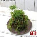 (盆栽)苔玉 コウヤノマンネングサ(1個) 観葉植物 コケ玉 (休眠株)