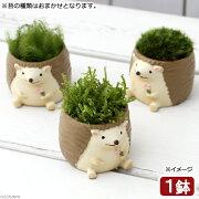 (盆栽)苔盆栽 リトルアニマル ハリネズミ(1鉢)