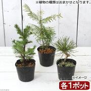 (盆栽)おまかせ マツ(松)3種セット 樹高15〜30cm 2.5〜3号