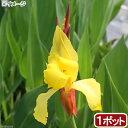 (ビオトープ)水辺植物 カンナ ストライプビューティー(1ポット) 湿生植物