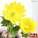 (山野草)フクジュソウ(福寿草) 3?4号(お買い得3ポットセット)