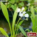 (ビオトープ)水辺植物 ナガバオモダカ(グラミネア)(3ポット) 抽水植物 休眠株