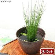 (ビオトープ)水辺植物 ミズトクサ(3ポット分) (休眠株)