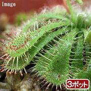 (食虫植物)コモウセンゴケ 2号(お買い得3ポットセット)