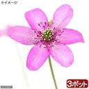 (山野草)ユキワリソウ(雪割草) 赤花 標準花 2.5号( 3ポットセット)