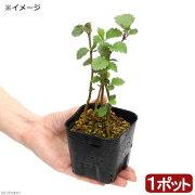 (盆栽)ケヤマハンノキの苗(毛山榛の木)3号(1ポット)