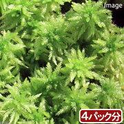 (観葉植物)苔 オオミズゴケ 4パック分