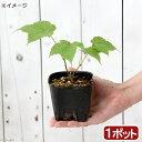 (山野草)盆栽 ウリハダカエデ(瓜膚楓) 樹高15~30cm程度 3号(1ポット)