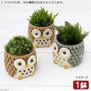 (盆栽)苔盆栽 リトルアニマル フクロウ 色おまかせ(1鉢)