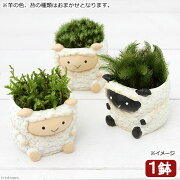 (盆栽)苔盆栽 リトルアニマル ヒツジ 色おまかせ(1鉢)