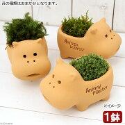 (盆栽)苔盆栽 アニマルテラコッタ ミニ Ver.カバ(1鉢)
