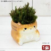 (盆栽)苔盆栽 大きいアニマル鉢 ビッグ ブサネコ (1鉢)