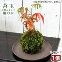 (盆栽)苔玉 ハゼノキ(櫨の木)(1個) 観葉植物 コケ玉