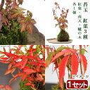 (盆栽)苔玉 紅葉植物3種 モミジ・ナンテン・ハゼノキ(1セット) 観葉植物 コケ玉