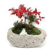 (盆栽)苔盆栽 縁起樹とヒノキゴケ寄せ植え 南天・三河黒松 〜白溶岩石鉢〜(1鉢)