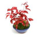 (山野草)苔盆栽 おまかせ山野草 平小鉢植え 鉢色おまかせ(1鉢)