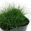 (ビオトープ)水辺植物 チャボイ(1ポット)抽水植物