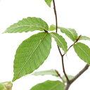 (山野草)盆栽 ブナ(山毛欅)樹高40~60cm程度 4号(1ポット)